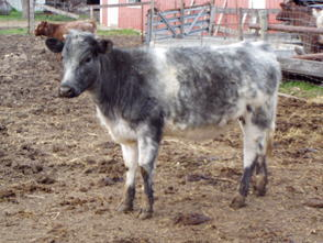 Half Bred Belgian Blue Cattle Stock at at Underhill Farms, Moundridge, KS #4