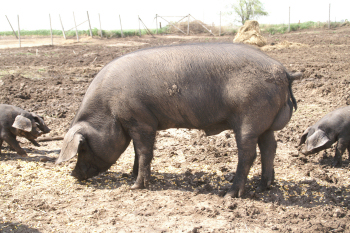 Large Black Hog organic pork at Underhill Farms