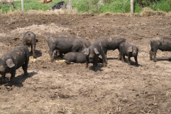 Large Black Hogs for sale at Underhill Farms