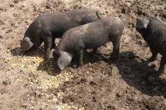 The Large Black Hog Heritage Breed