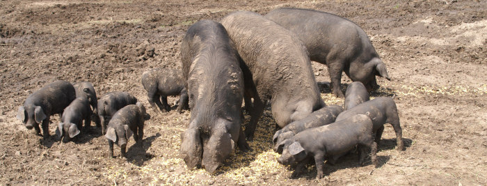 Large Black Hogs are bred for taste